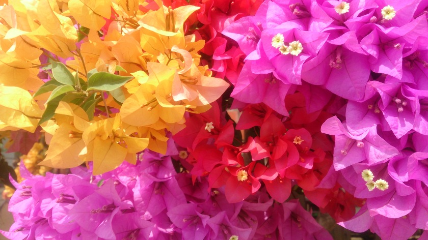 Bougainvillea_flowers_2