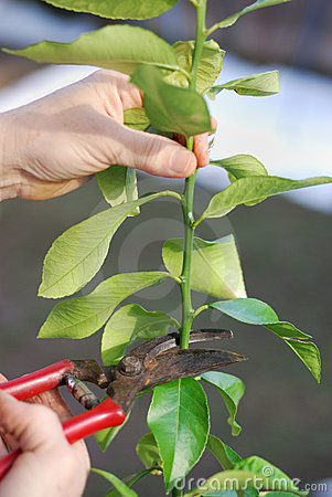 pruning-lemon-tree-8404426