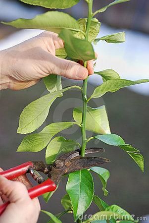 pruning-lemon-tree-8404426